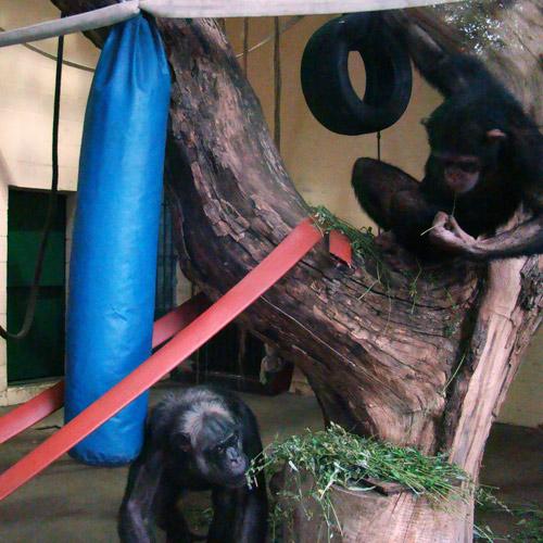 chimpanzoo1