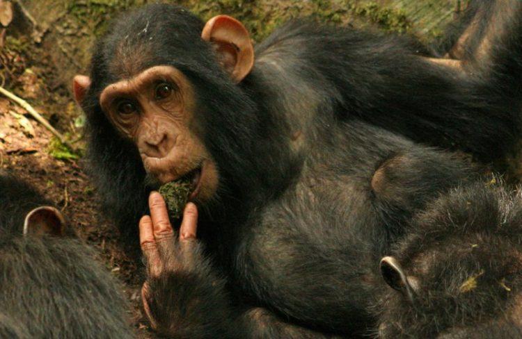 Transmisión cultural por parentesco del uso de herramientas entre chimpancés salvajes