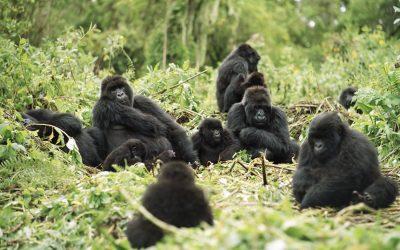 Llamados asociados al alimento en gorilas  (Gorilla g. gorilla) en ambiente silvestre