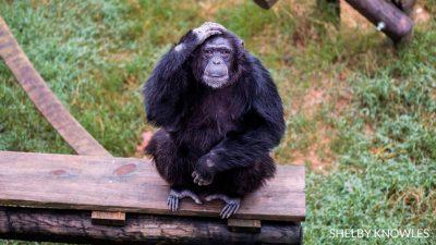 Se terminó el uso de chimpancés en  investigaciones científicas. Entonces, ¿por qué tan pocos han sido enviados a Santuarios?