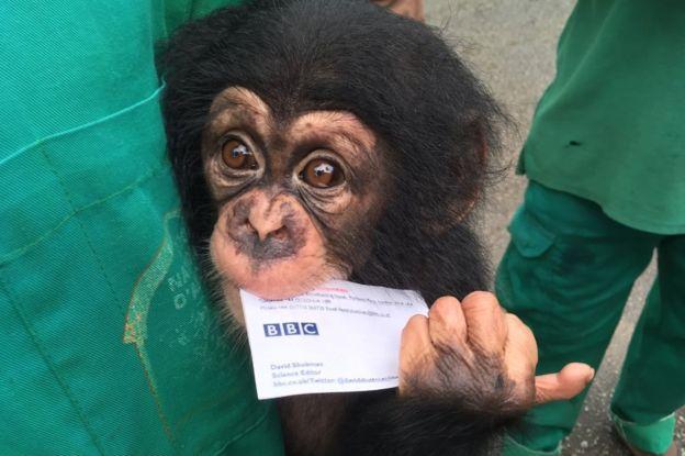 La muerte de Nemley Jr. Su significado para la protección de los chimpancés