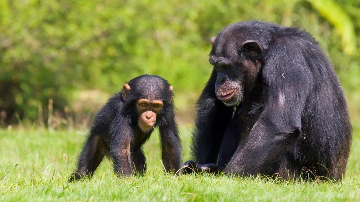 Las poblaciones de chimpancés, ¿Desarrollan distintas culturas?