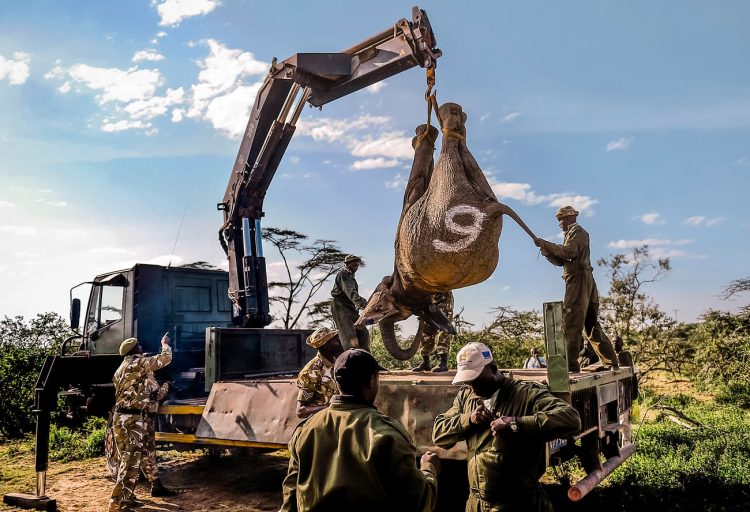 Incluso si detuviéramos el tráfico de marfil mañana, los elefantes aún seguirían en grave peligro