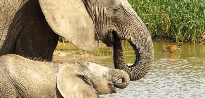 Por qué la Dra. Jane Goodall nunca se dará por vencida con los elefantes