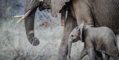 The Ivory Game y el compromiso de año nuevo de China para finalizar el comercio de marfil.