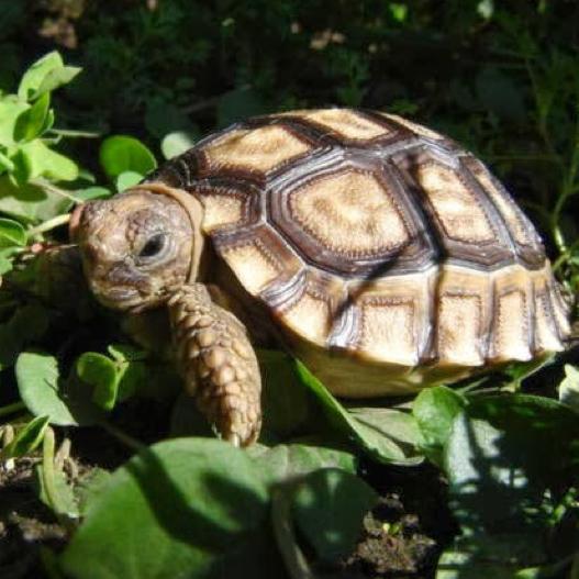 tortuga-de-tierra-1