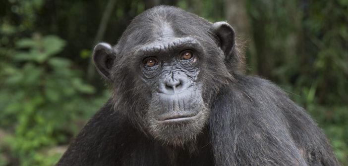 Wounda: La increíble historia de la chimpancé detrás del abrazo a la Dra. Jane Goodall
