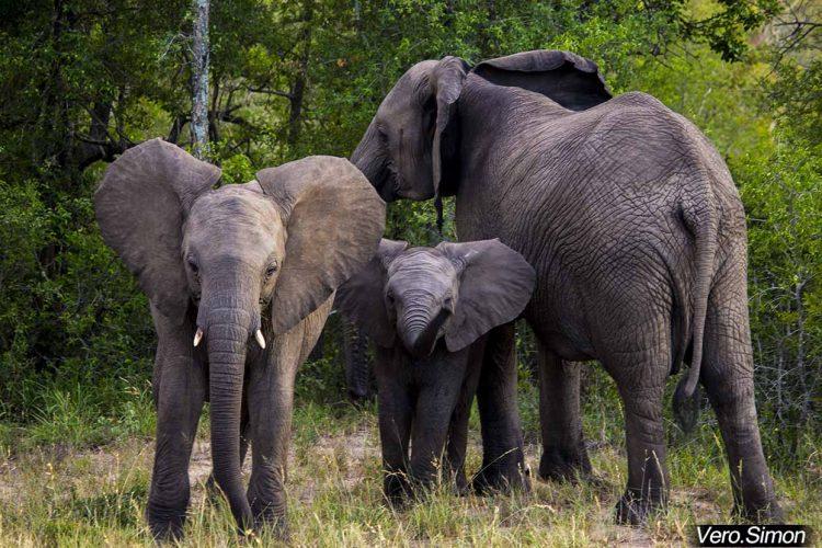 Elefantes en la mira