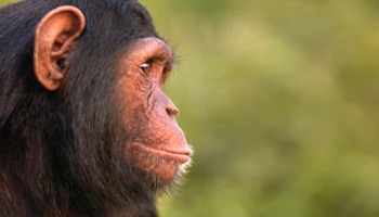 chimpa3