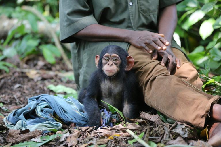 La bebé Vienna, una chimpancé rescatada en el Santuario de Tchimpounga del Instituto Jane Goodall.