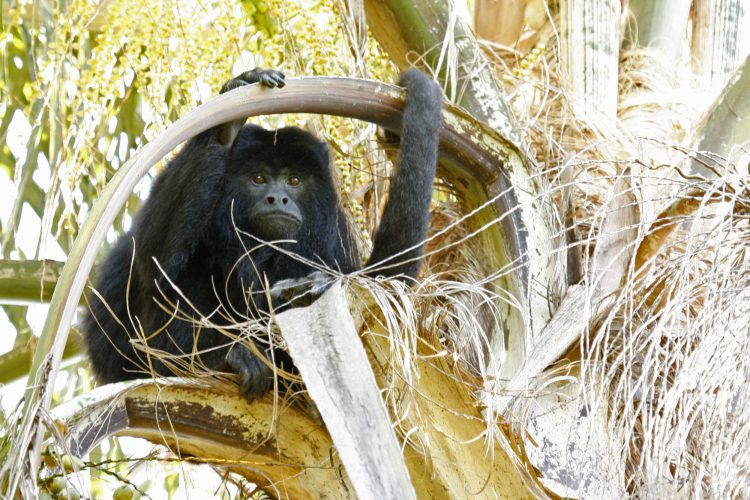 Los monos no son mascotas