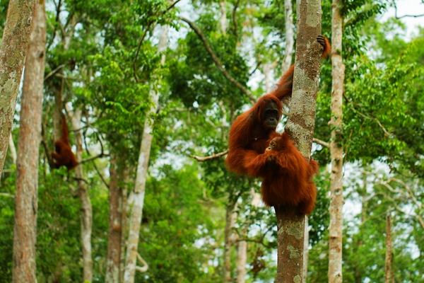 Dia Mundial del Orangután, 19 de agosto