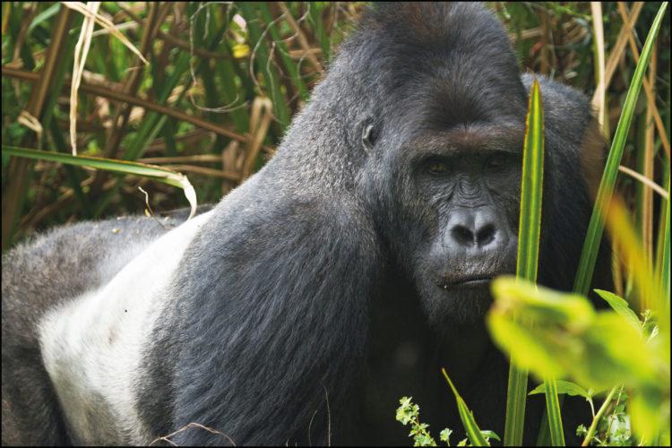 Día Mundial del Gorila, 24 de septiembre
